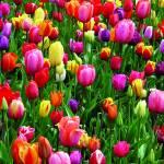 Canvas 0215 40×40 tulips