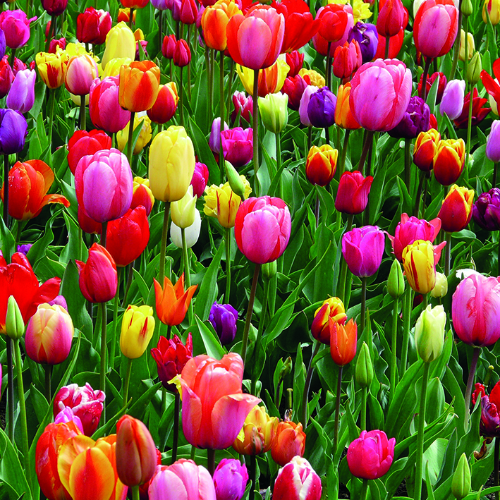 Canvas 0215 40×40 tulips